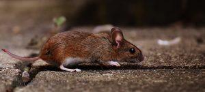 τρωκτικά-ποντικια-αρουραίοι-αντιμετώπιση-μυοκτονία